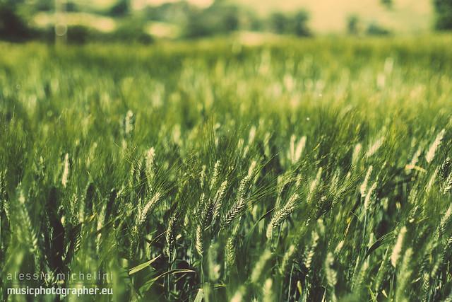 Wheat field in Arcevia, Italy